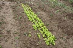 Salade résistante au froid